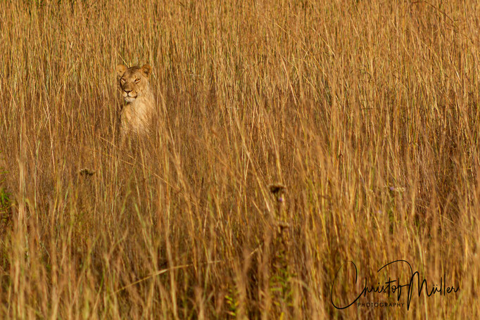 Portrait of a lioness hiding in hugh grass in golden early morning light (Panthera leo)