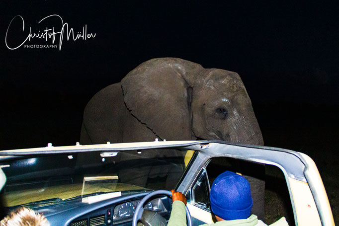 Close Encounter with an Elephant during a Night Safari watching you attentively