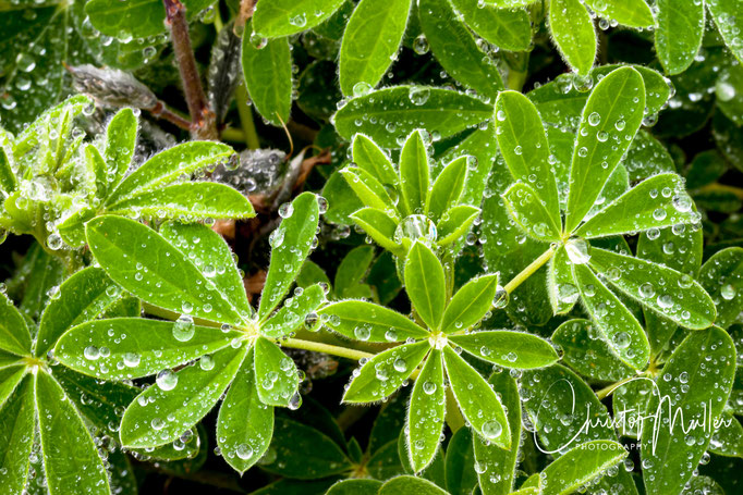 Lupine leafs and water drops from the morning dew