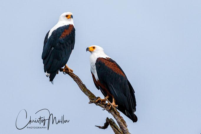 The African fish eagle (Haliaeetus vocifer), Lake Mburo National Park, Uganda
