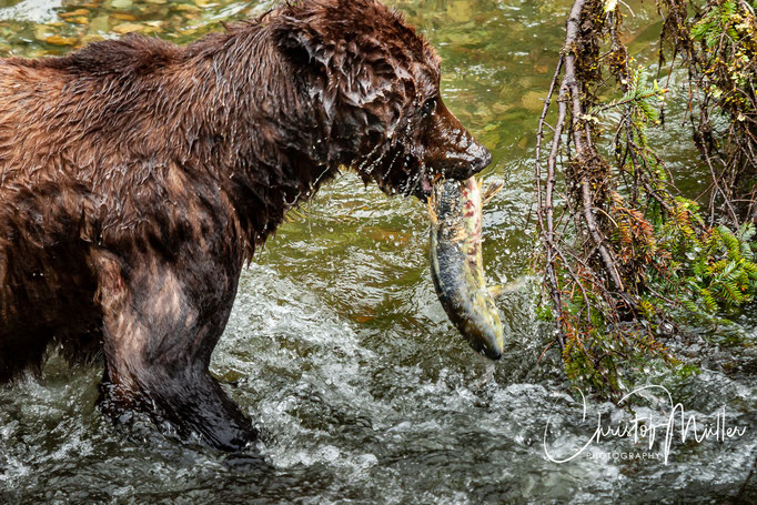 During the salmon spawning season  you can spot Grizzlys hunting Pacific salmon.