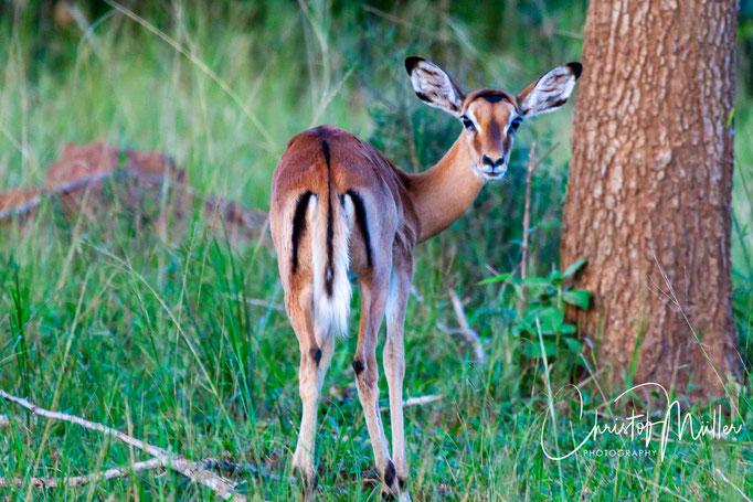 Female Impala (Aepyceros melampus) with  the characteristic tail and pattern Lake Mburo National Park, Uganda