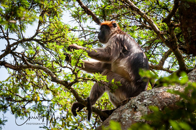 Red colobus monkey (Procolobus [Piliocolobus] rufomitratusat) at  Bigodi Wetland Sanctuary, Uganda, Africa. This species of monkeys are hunted by chimpanzees.