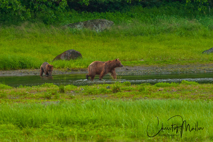 The Grizzly Bears  at Pack Creek are accustomed to human presence since years. The number of visitors is limited