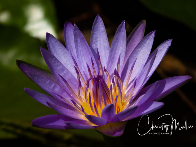 Tropical Purple water lily (Nymphaea) in a swamp in the Bigodi Wetlands Sanctuary