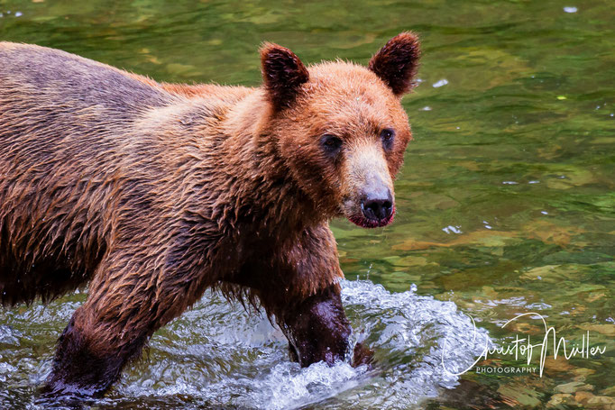 .... while younger Grizzly Bear are more often less successful