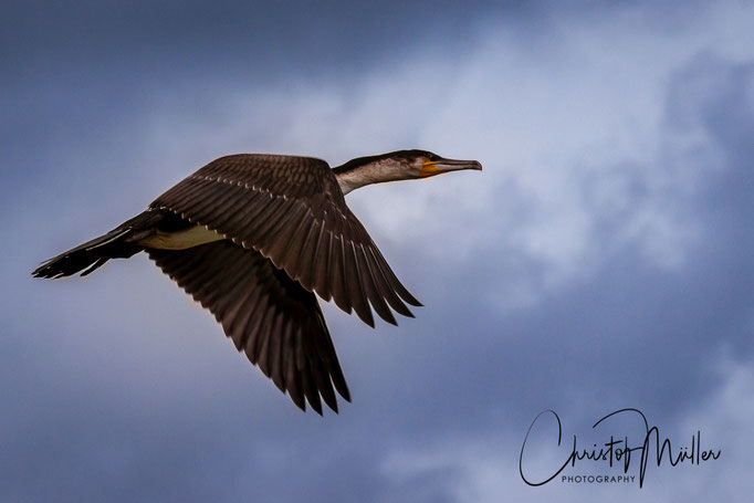 The great cormorant (Phalacrocorax carbo) is commonly seen at Kazinga Channel and takes also opprtunities of the fish abundance