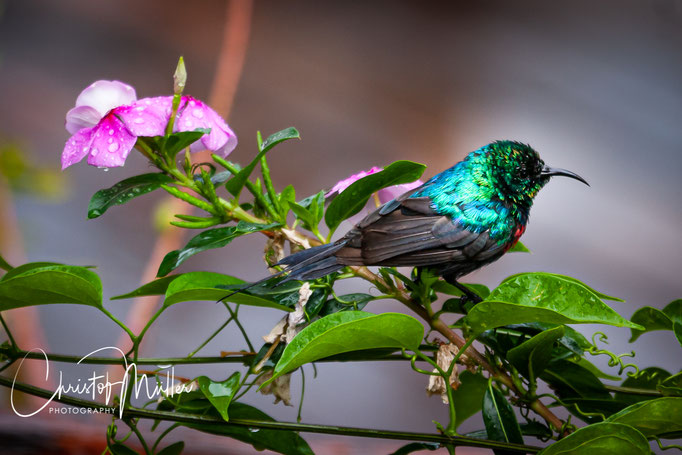Blue-headed sunbird after a small rainfall (Cyanomitra alinae) is a commonly found bird in Uganda and Rwanda.
