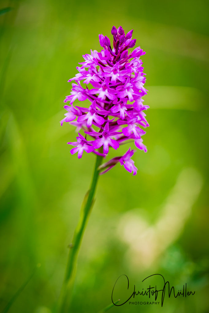 "The pyramid orchid (Anacamptis pyramidalis) fascinated Charles Darwin especially the pollination strategies and was mentioned in his book ""Fertilisation of Orchids"""
