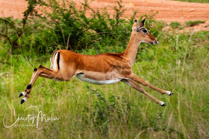 Impala (Aepyceros melampus) jumping away from the car in Lake Mburo National, Park Uganda