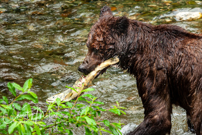 Experienced older Brown Bears are often successful in catching salmon ....