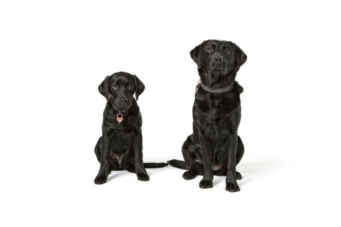 zwei Labradore, Welpe