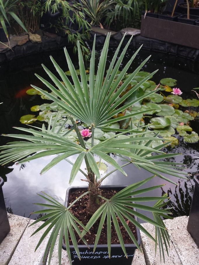 trachycarpus princeps.sp new form