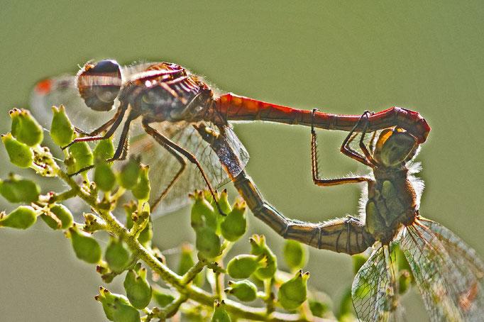 Paarungsrad der Gemeinen Heidelibelle