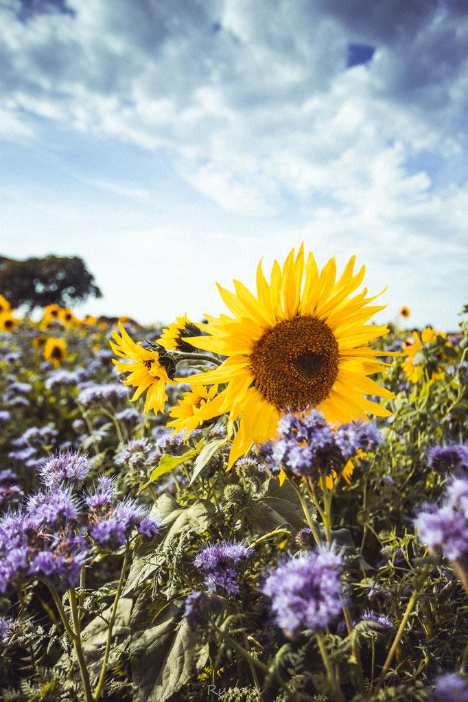 W86 - Sonnenblumen in Linden Neusen