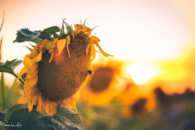 Sonnenblumen in Merzbrück