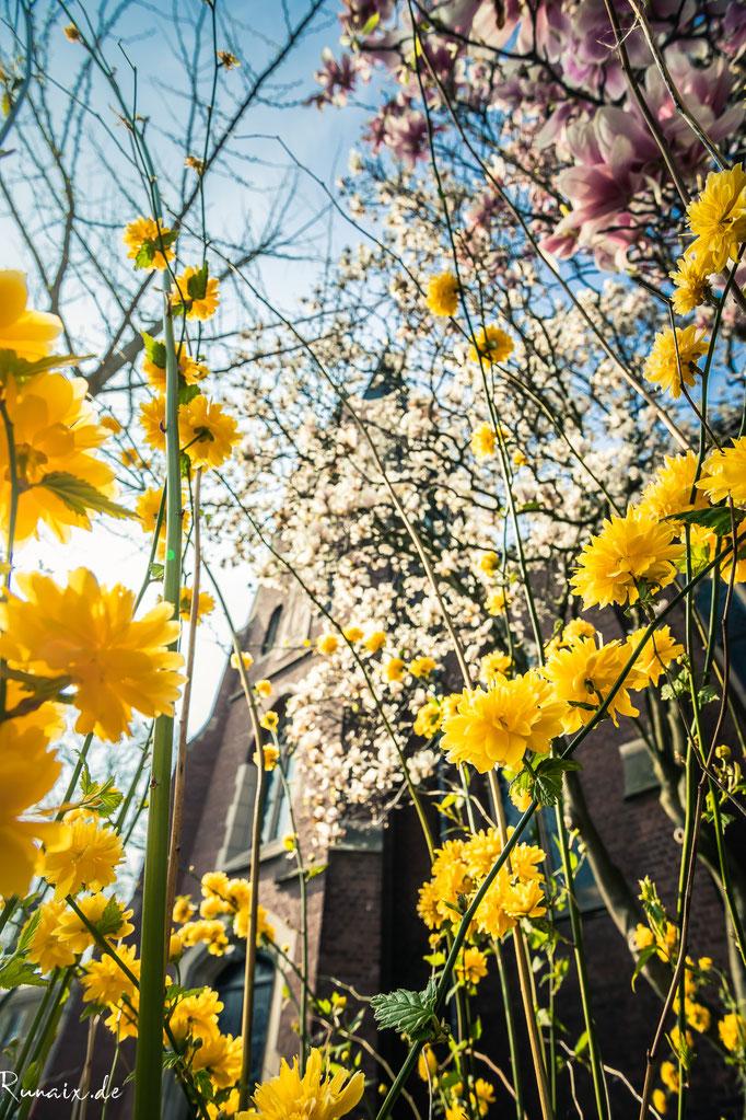 Magnolie an St.Josef in Straß