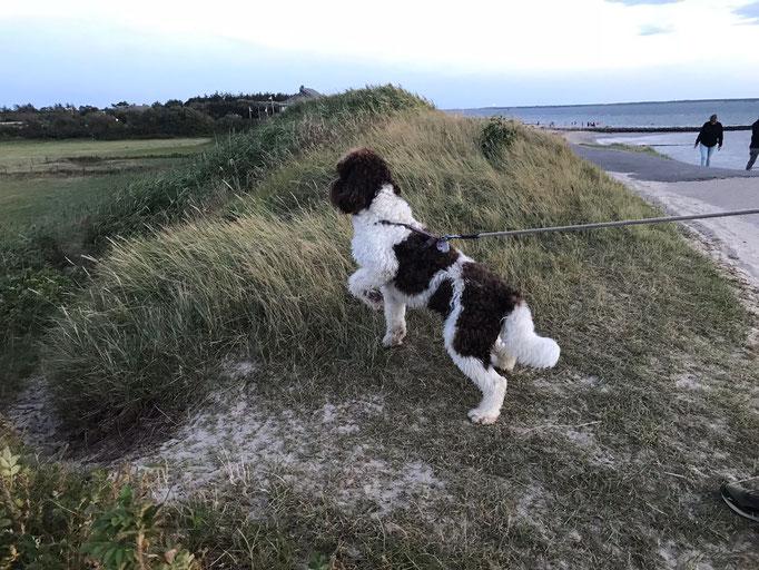 wow, Gilbo staunt nicht schlecht, soviele Wildkaninchen auf der Insel Föhr