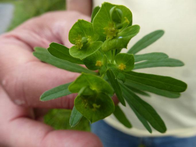 Esels-Wolfsmilch (Euphorbia esula)