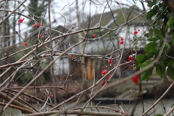 Die Früchte des Gemeinen Schneeballs sind ein wertvolle Winternahrung für unsere Vögel