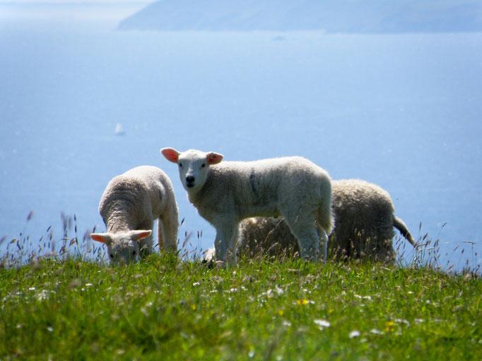 Schafe auf der Roseland Halbinsel