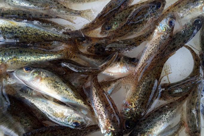 Kaulbarsche als Biotopfische (Mindestabnahmemenge 50 Stück)