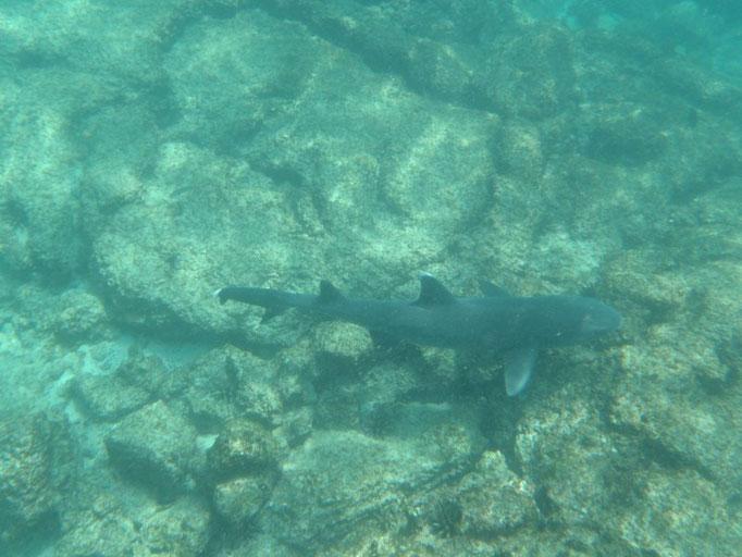 Los tiburones tintoreras