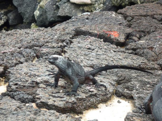 Iguanas marinas por todas partes