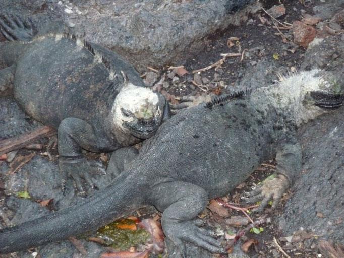 Las iguanas en Concha de Perla