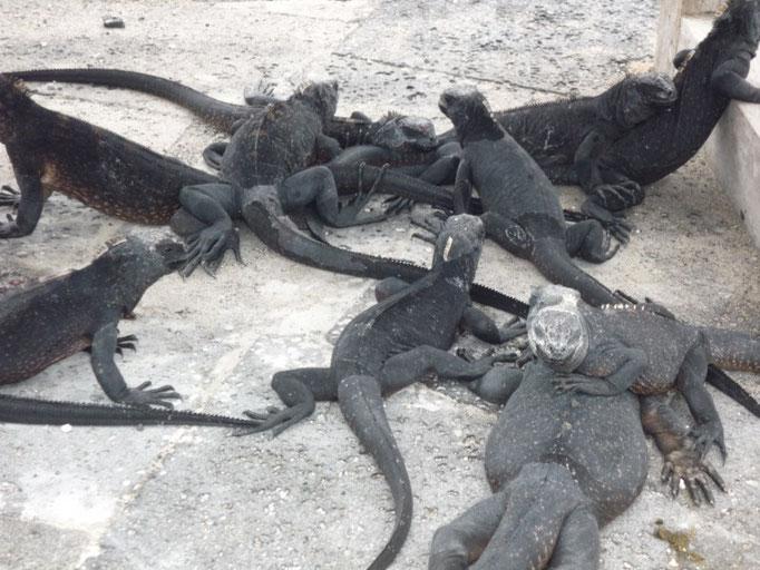 Iguanas y más iguanas