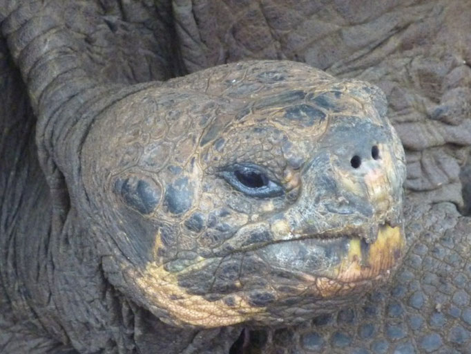 Carita de tortuga