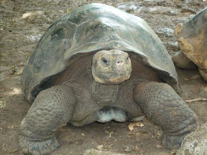 Las tortugas de 70 a 90 kilos de peso