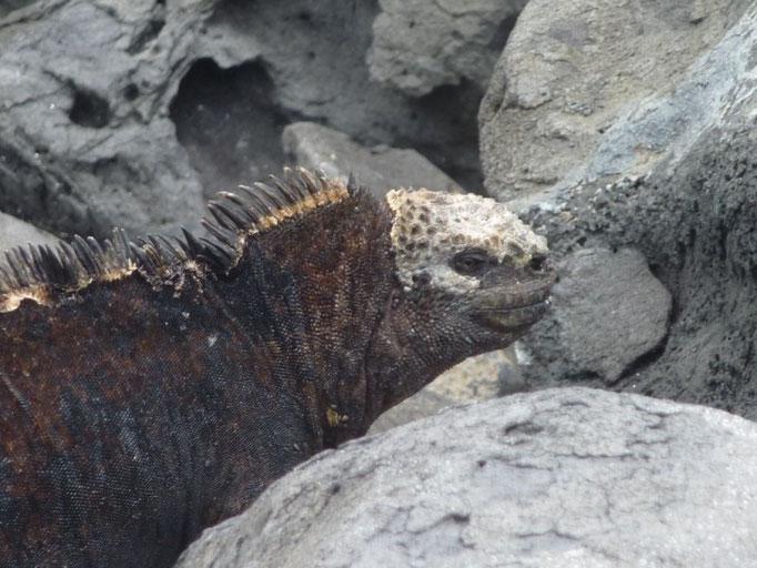 Iguanas marinas