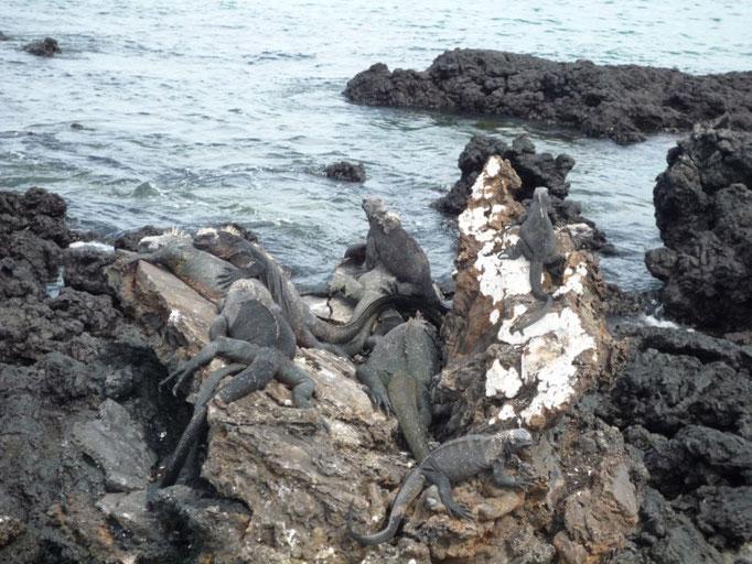 Las iguanas están por todas partes en las islas de Tintoreras