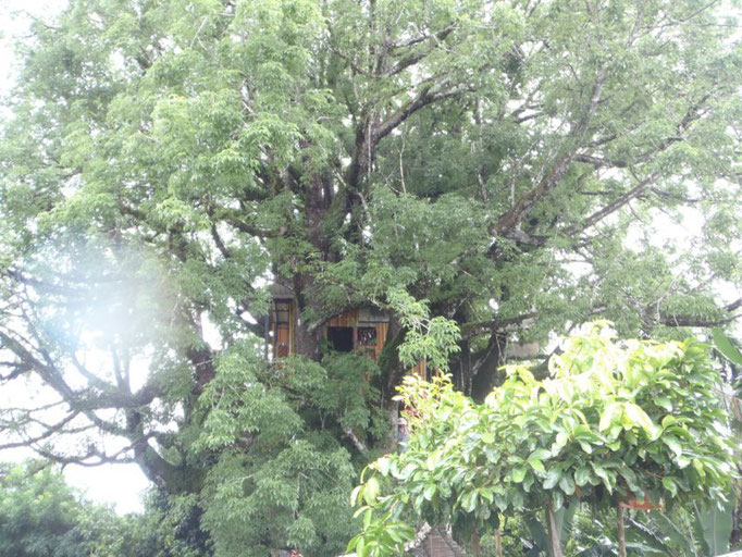 El árbol del Ceibo más antiguo del mundo, 300 años