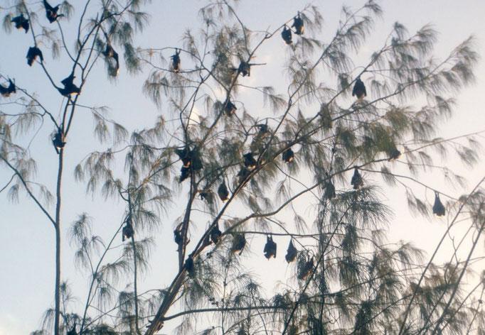 Los murciélagos abundan en la bahía pero se reúnen en un spot en particular