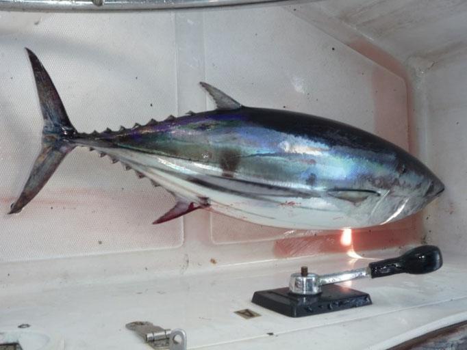 Menudo atún