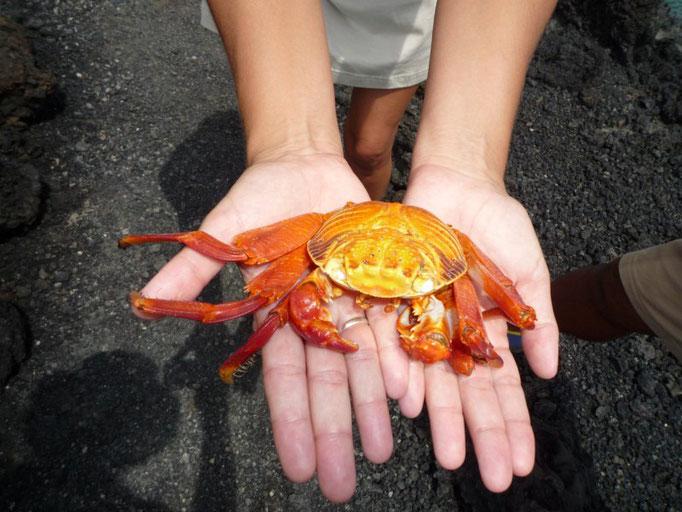 Un cangrejo que creíamos muerto pero es que mudó toda la piel, incluso los ojos