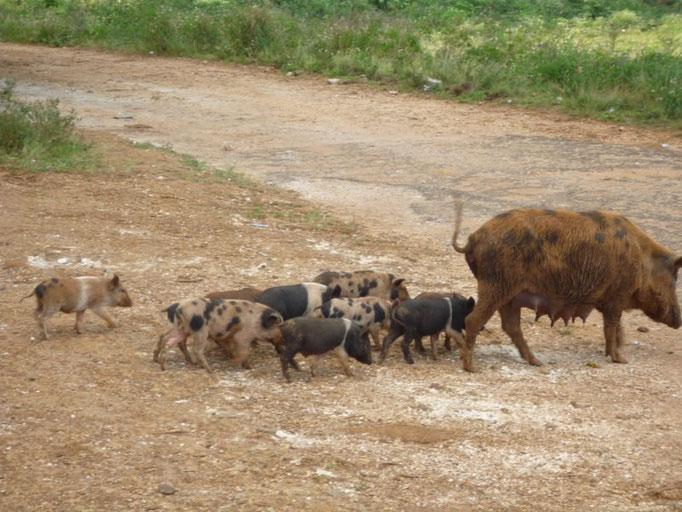 Los cerdos y sus crías están por todas partes