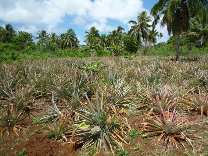 Plantación de piñas