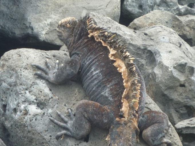 Iguanas marinas en La lobería