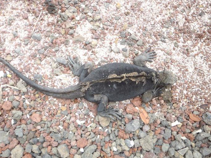 Las iguanas están por todas partes