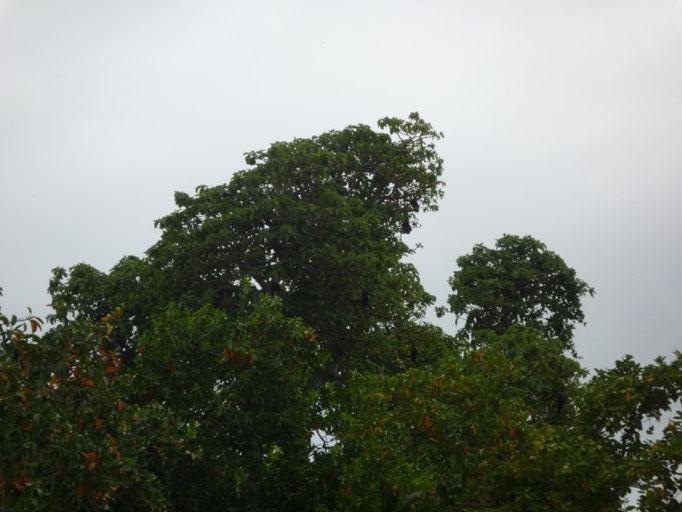 Los murciélagos en lo alto de los árboles