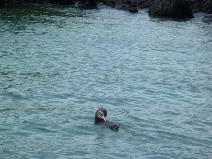 Pingüinito