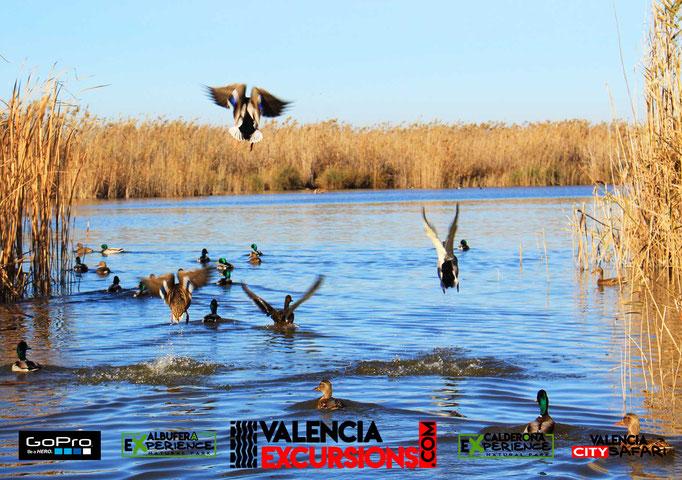 Aves en la Albufera de Valencia organizado por Valencia Excursions. Tour operador en Valencia.
