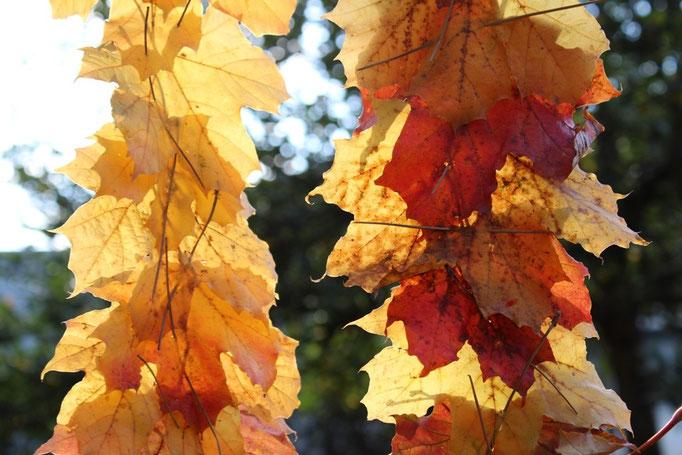 Naturkunst mit Grundschulkindern, Blätter im Gegenlicht