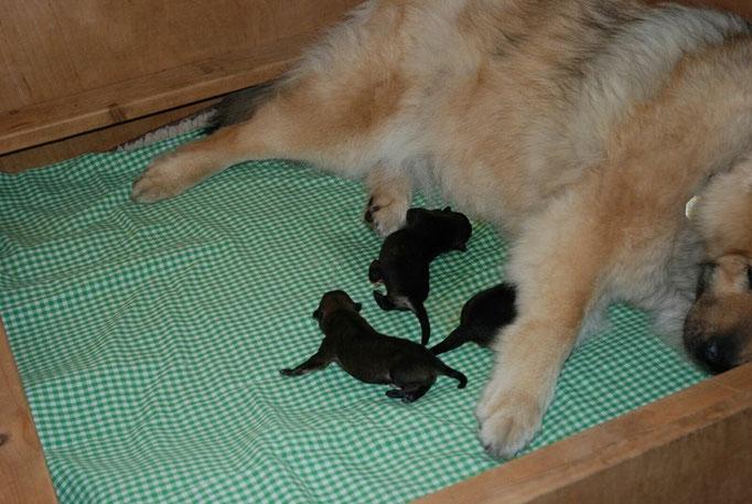 die 3 Hündinnen nach der Geburt