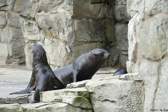 Südafrikanischer Seebär (Zwergseebär)
