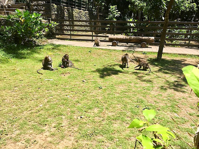 group of monkeys at monkey forest