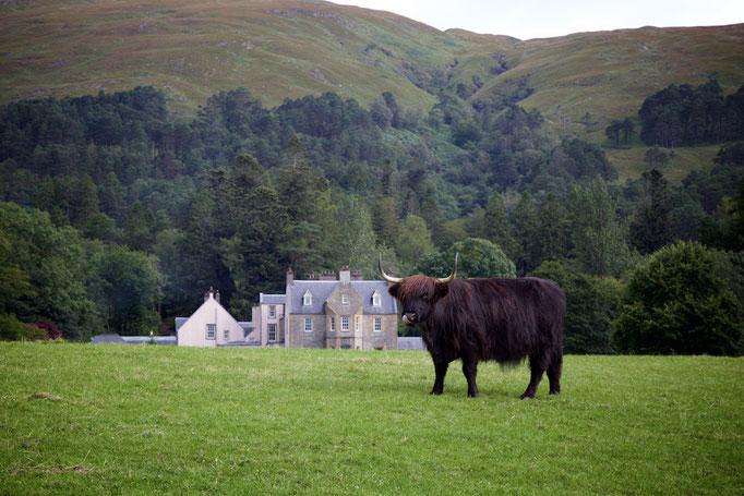 Highland Cow, Loch Linnhe